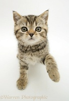 Tabby kitten lifting a paw up