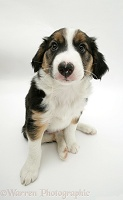 Tricolour Border Collie pup looking up