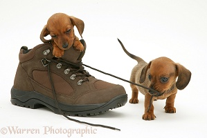 Dachshund pups playing with a shoe