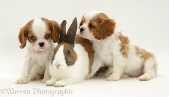 King Charles pups and Dutch rabbit