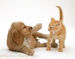 Golden Cocker Spaniel puppy and ginger kitten