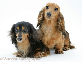 Two miniature longhaired Dachshunds