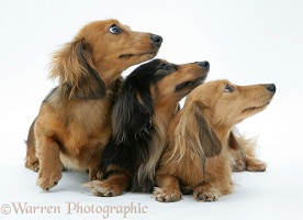 Three miniature Dachshunds