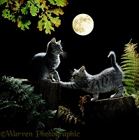 Kittens out at night, by moonlight