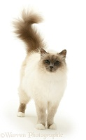 Blue-point Birman cat standing