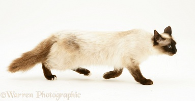 Seal-point Birman-cross cat, anxiously creeping