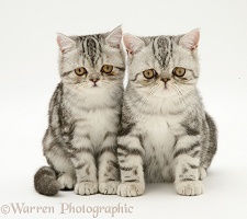Silver tabby Exotic cats