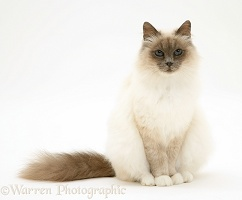 Blue-point Birman cat sitting