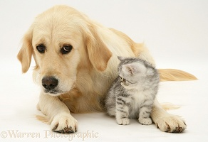 Silver tabby Exotic kitten and Golden Retriever