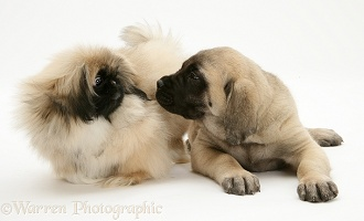 Pekingese and English Mastiff pups
