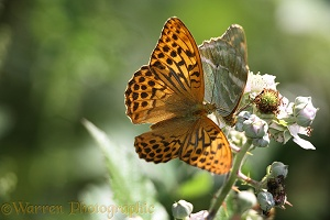 Silver-washed Fritillaries