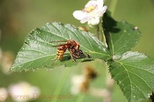 Hornet with Honey Bee prey