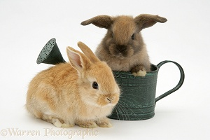 Baby rabbits and watering can