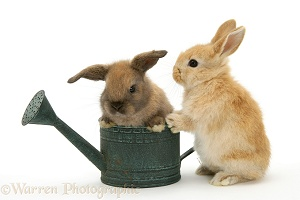Baby rabbit in a watering can