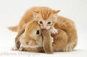Ginger kitten with a young Sandy Lop rabbit