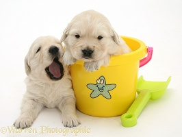 Yellow Retriever puppy in a plastic bucket