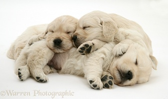 Three Golden Retriever pups sleeping