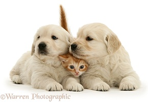 Red tabby kitten with Golden Retriever pups