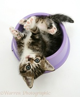 Tabby kitten lying upside-down in a food bowl