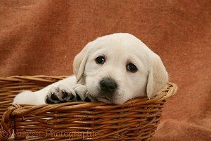Labrador puppy in a basket
