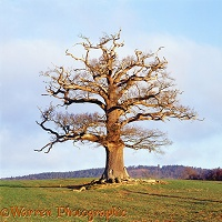 Ockley Oak - Winter 2005