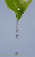Water dripping from a rose leaf