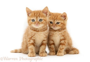 Red tabby British Shorthair kittens