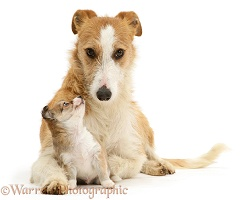 Lurcher and Chihuahua puppy