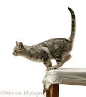 Silver tabby cat about to jump