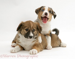 Merle and sable Border Collie pups, 8 weeks old