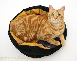 Ginger cat in a cat bed