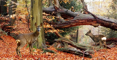 Roe Deer in autumnal woodland