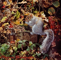 Grey Squirrel on tree stump