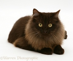 Fluffy dark chocolate Birman-cross cat