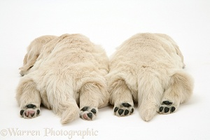 Two Golden Retriever pups asleep, back view