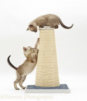 Kittens on a scratch-post