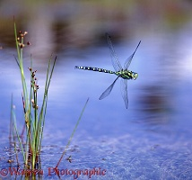 Southern Hawker Dragonfly in flight