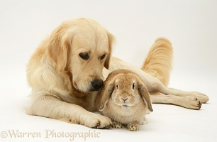 Sandy Lop rabbit with Golden Retriever bitch