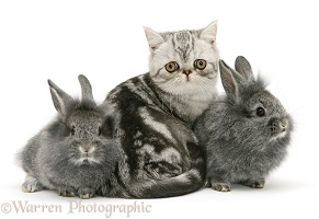 Exotic kitten with Lionhead rabbits