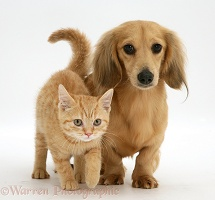 Cream kitten with cream dapple Dachshund pup