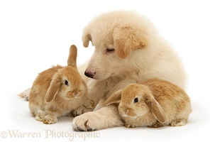 White Alsatian and rabbits