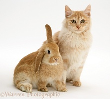 Ginger rabbit and cat