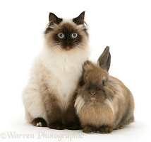 Young Birman-cross cat and Dwarf Lionhead x Lop rabbit