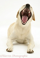 Yellow Labrador bitch yawning