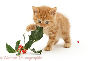 Ginger kitten playing with holly