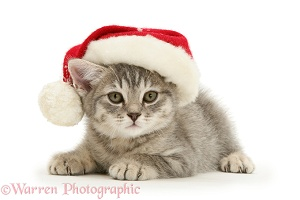 Grey kitten wearing a Santa hat