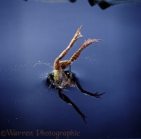 Common Frog diving into water
