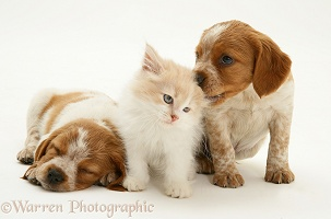Kitten with spaniel pups