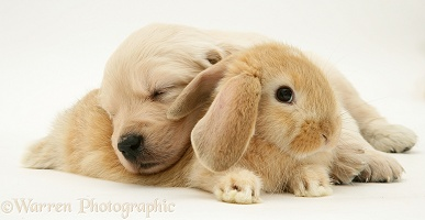 Baby sandy Lop rabbit with Golden Retriever pup