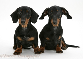 Two miniature Dachshunds, sitting